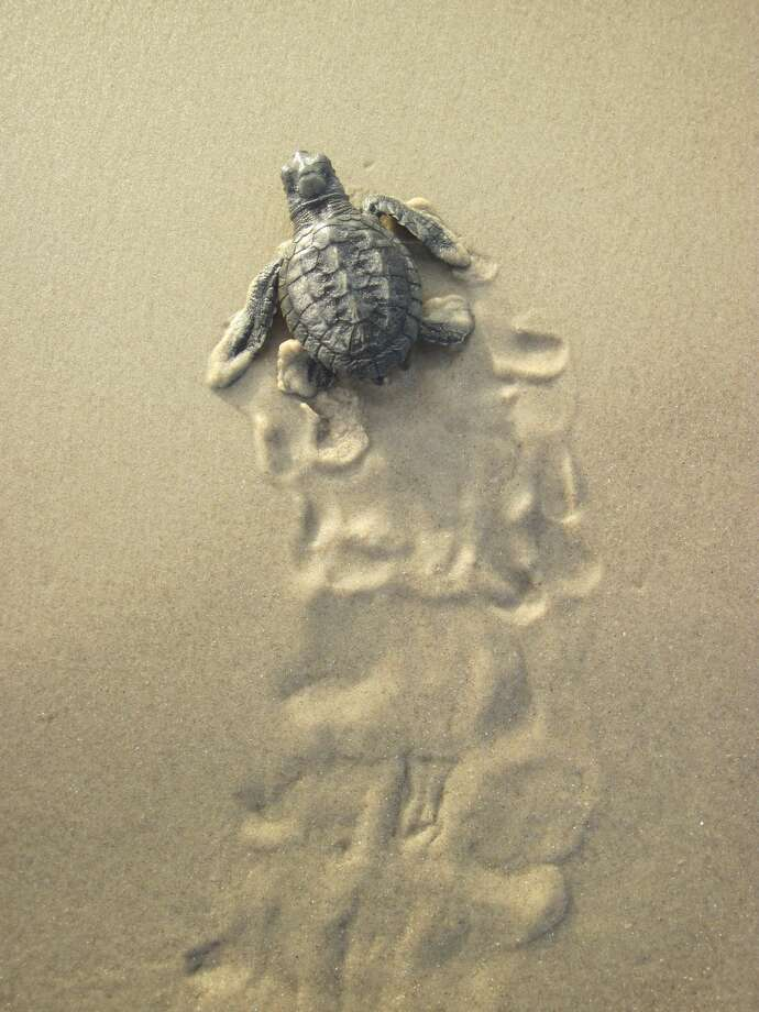 Photos show Kemp's ridley sea turtles making their way to the ocean during Summer 2017. Photo: Padre Island National Seashore/Patrick Gamman
