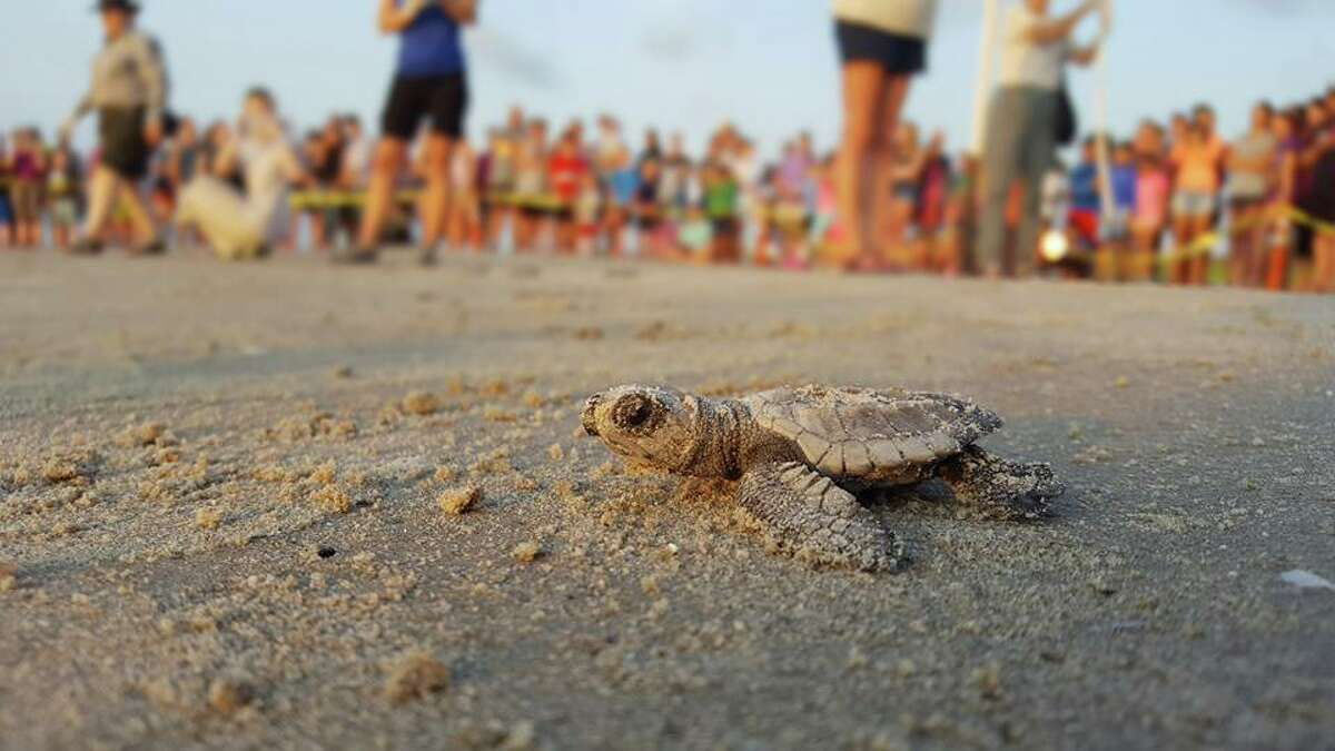 Last year, more than 14,000 hatchlings were quietly sent out to sea, but public releases were canceled because of the pandemic. In 2021, it seems the coronavirus continues to forgo the public feel-good sendoffs on Malaquite Beach near Corpus Christi.