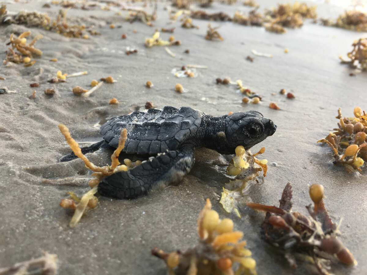 Photos show Kemp's ridley sea turtles making their way to the ocean during Summer 2017.