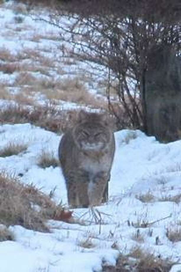Two bobcats were seen near the Harwinton/Litchfield line on Monday, Jan. 21, 2013. Photo by Dawn Schibi.