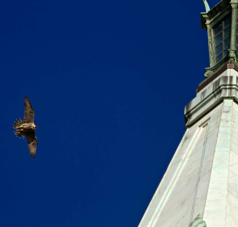 A peregrine falcon returns to the Campanile at UC Berkeley where she was raising two chicks. Photo: Mary Malec