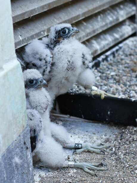Peregrine falcon chicks Fiat and Lux (far right) were raised at the Campanile. Photo: Mary Malec