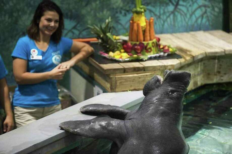 Snooty, seen here on Saturday during a celebration of his 69th birthday, has died, according to the South Florida Museum. Photo: Marc R. Masferrer, TNS / Bradenton Herald