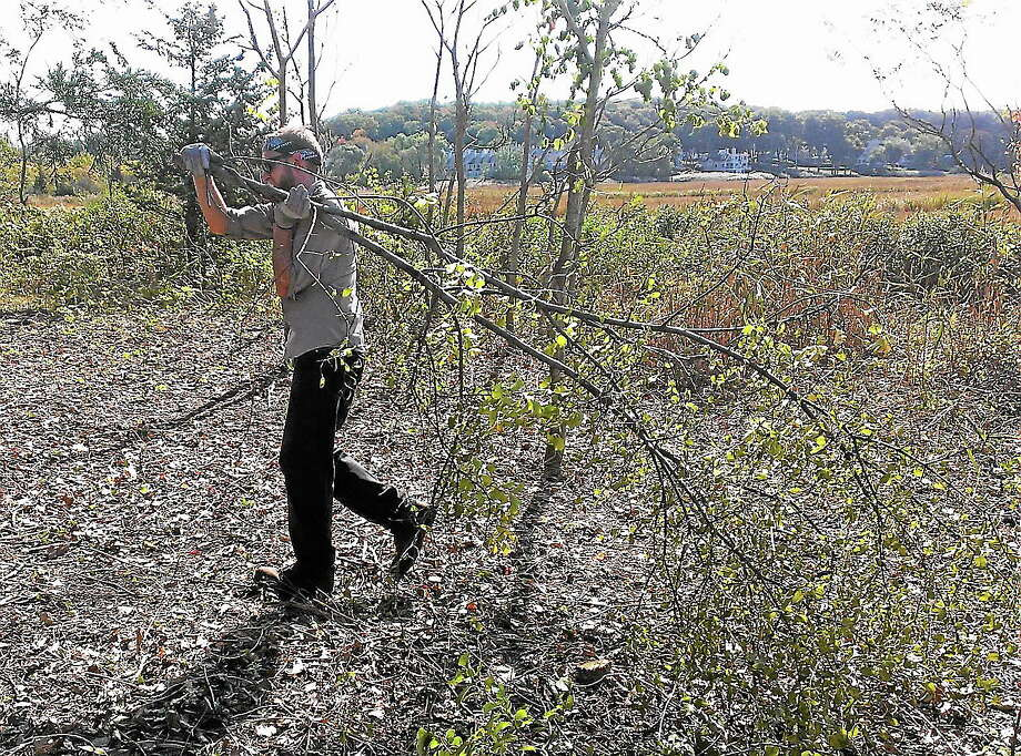 New Haven Land Trust intern Jordan Conerty carries away brush at Quinnipiac Meadows Eugene Fargeorge Nature Preserve as part of an invasive species removal project. Photo: Journal Register Co.