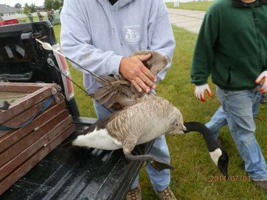 This 2013 photo provided by the Michigan Department of Natural Resources via The Bay City Times shows a Canada goose that was first spotted in April 2013 with an arrow protruding from its breast. Photo: AP / Michigan Department of Natural R
