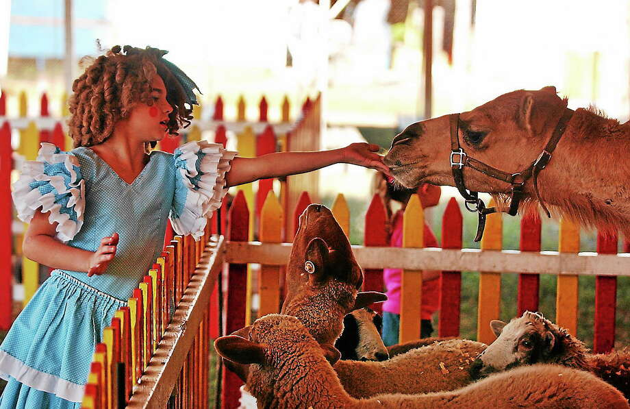 """Elvira Zawadowski of North Haven, dressed as a clown named """"Sweet Pea,"""" feeds a camel at the petting zoo during a previous edition of the North Haven Fair. Photo: Aaron Flaum - Register File"""