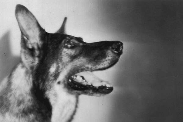 Rin Tin Tin, the doggy sensation of the nation.