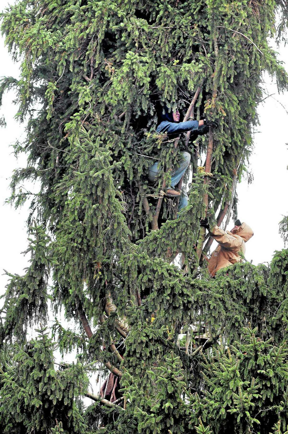 A crew ties up the branches of an 80-foot Norway spruce on Kazo Drive in Shelton in preparation for its trip to Rockefeller Center in New York City.