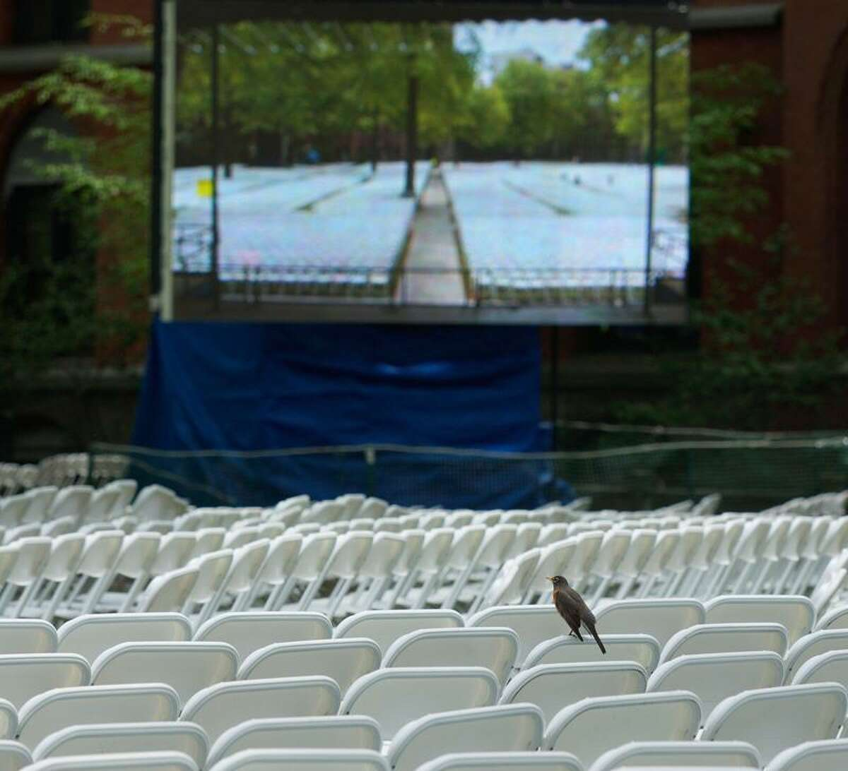 New Haven-- A bird sits amoung the thousands of chairs set up in old campus at Yale in preparation for class day and graduation. Photo-Peter Casolino/Register pcasolino@newhavenregister.com