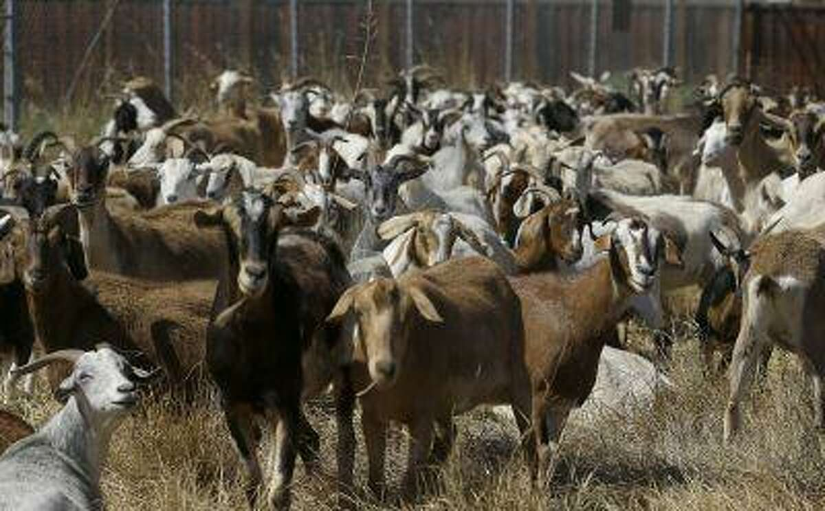 In this photo taken on Wednesday, June 19, 2013, goats graze on a patch of San Francisco International Airport land in San Francisco. San Francisco airport is using 400 goats to clear from an area of the airport prone to fire. (AP Photo/Jeff Chiu)