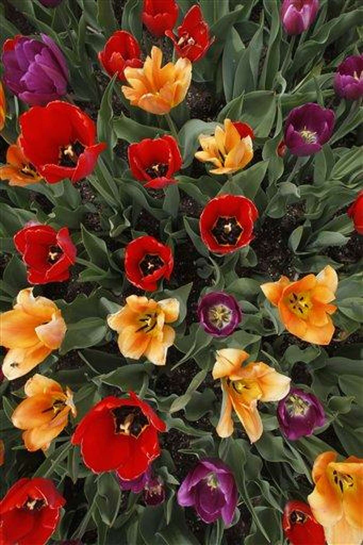 Associated Press photo: Tulips