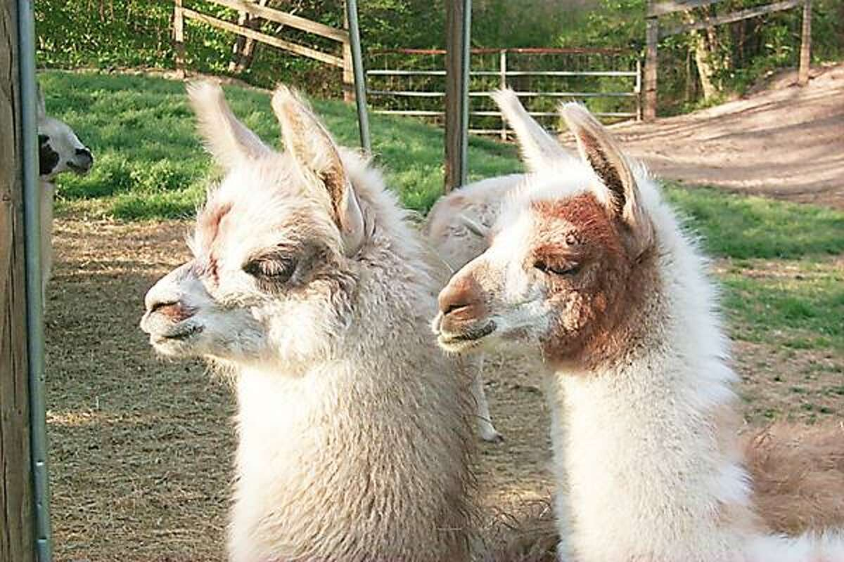 Photos Courtesy Commerford Kids Fun Fair Llamas are some of the animals that will appear at the Commerford Kids Fun Fair Jan. 26-27 at the State Fairgrounds.
