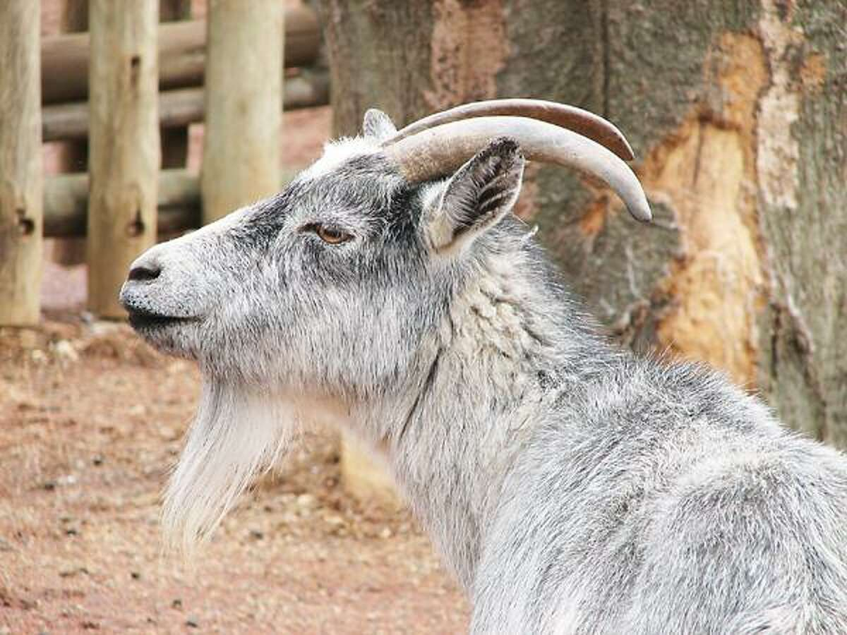 Photos Courtesy Commerford Kids Fun Fair Pygmy goats are some of the animals that will appear at the Commerford Kids Fun Fair Jan. 26-27 at the State Fairgrounds.