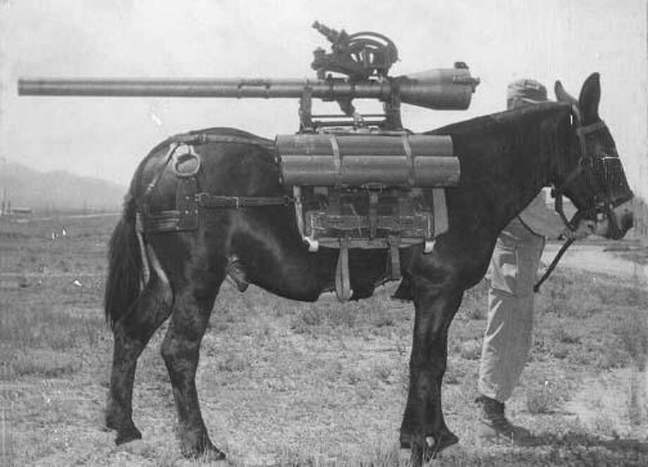 Mules have performed a number of functions for the U.S. Army. Here, a rapid-fire gun is mounted on the animal's back, a practice that has been discontinued.