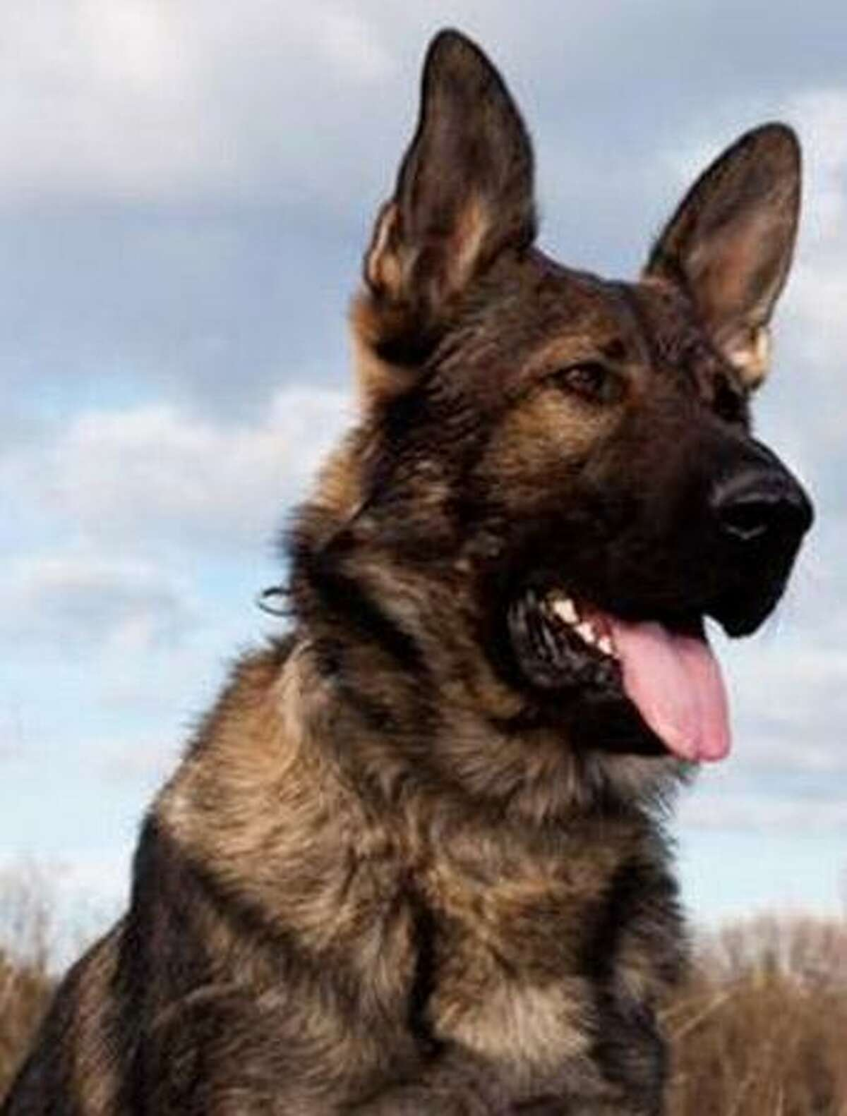 FBI tactical dog, Ape, was killed in the line of duty on Thursday in Herkimer, as he joined police and FBI Tactical Teams in the search for Kurt Myers, a man believed to have killed four people at random in the upstate villages of Mohawk and Herkimer. (AP Photo/Federal Bureau of Investigation)
