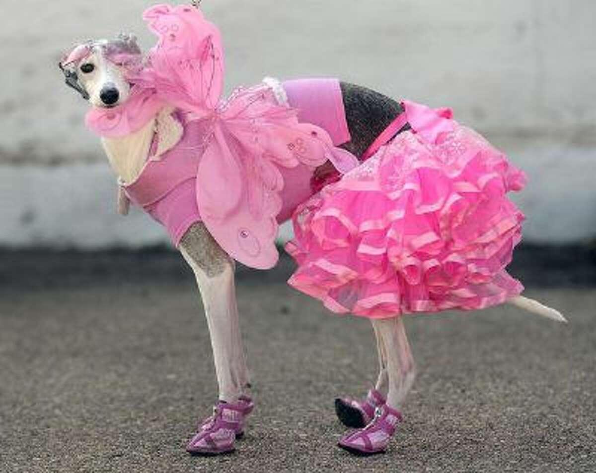 "Lola, an Italian greyhound dressed as a ""snow angel."""