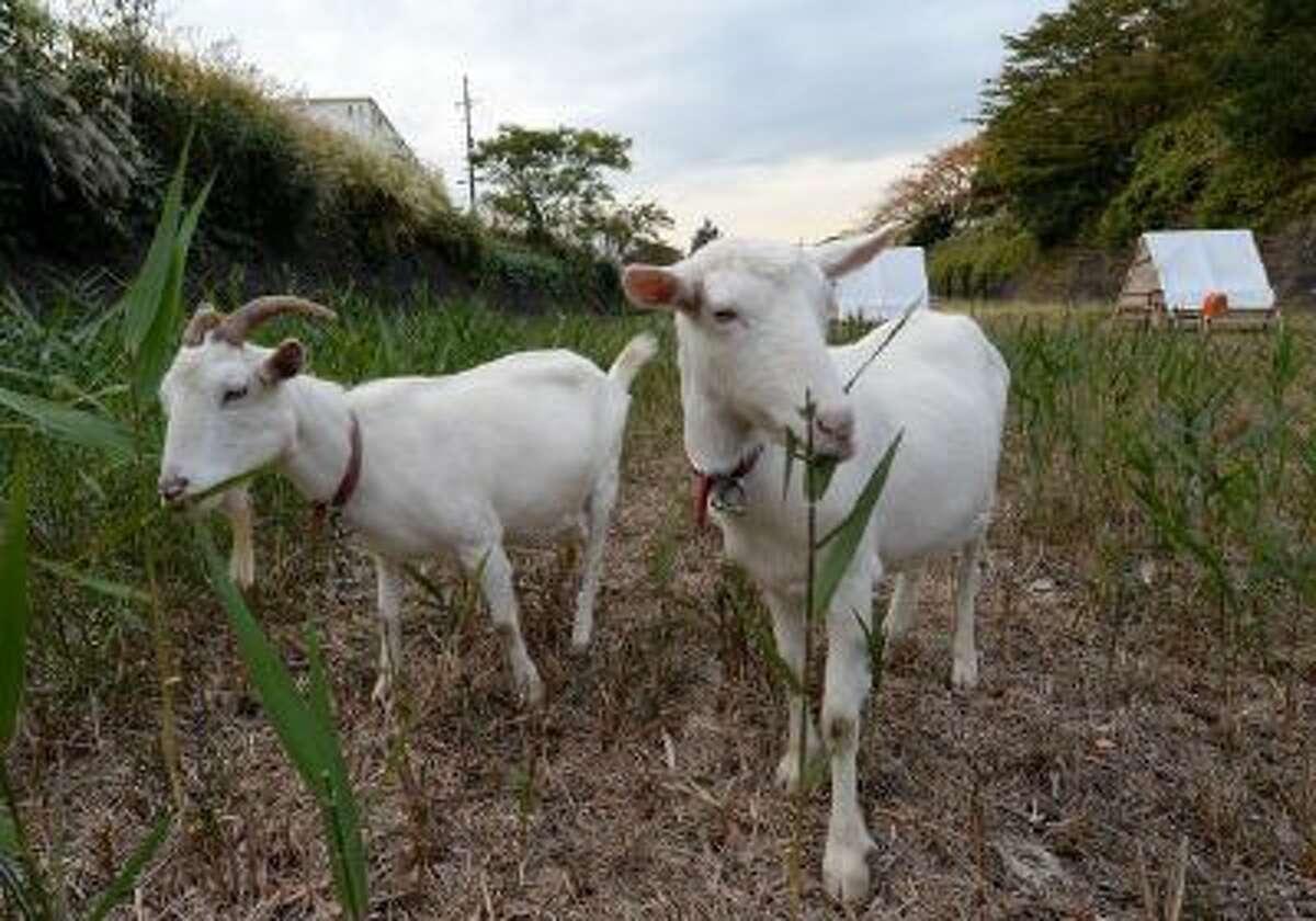Goats eat weeds in western Tokyo on Nov. 14.