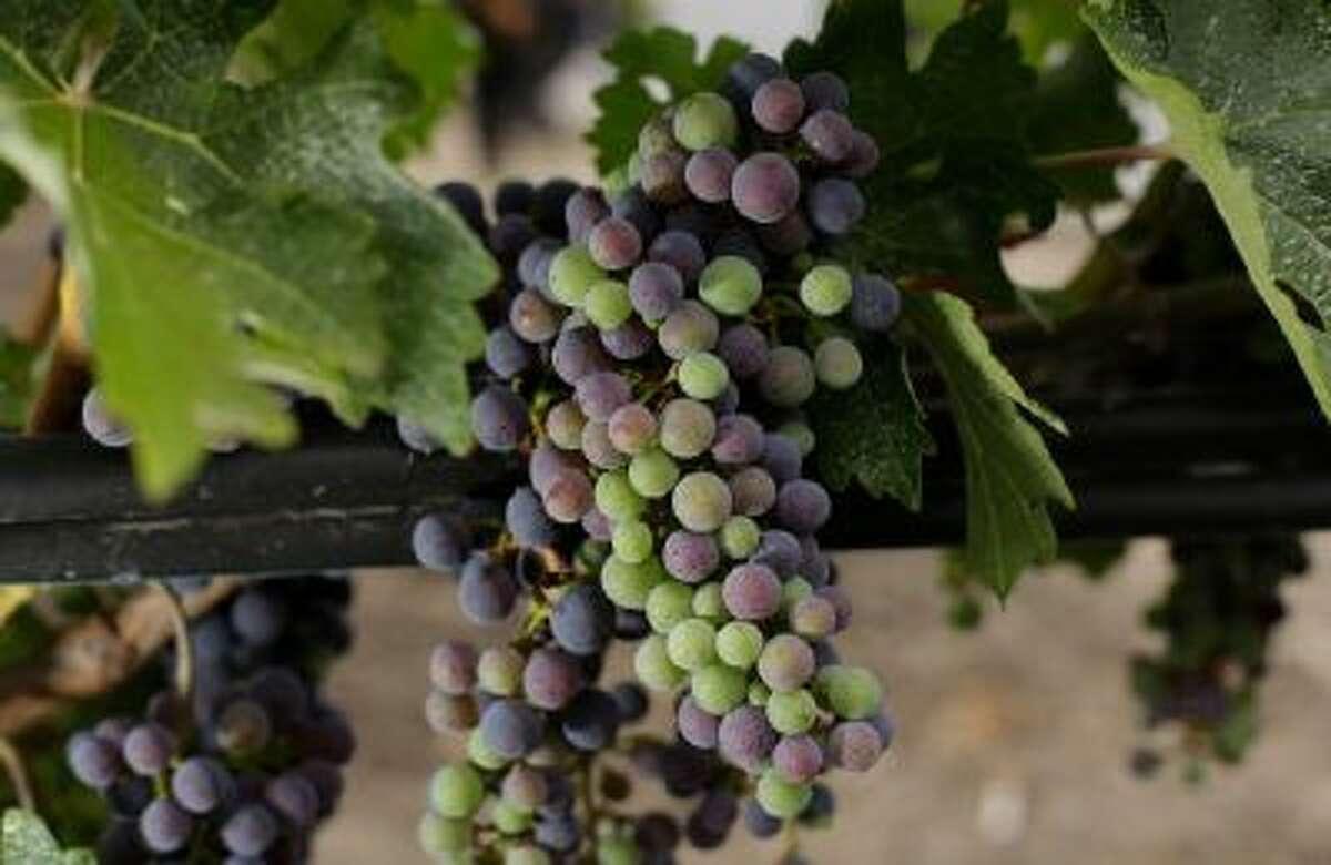 Ripening grapes in California's Napa Valey.