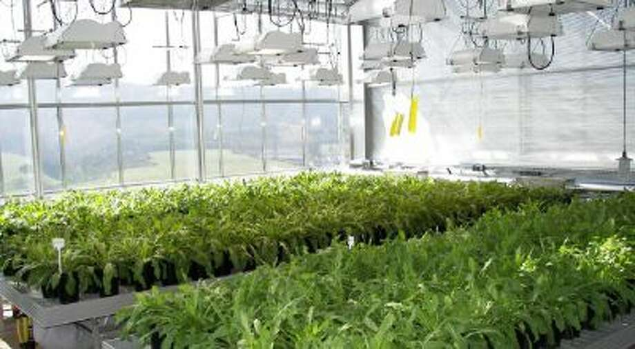 Dandelions are being grown on a massive scale at the Fraunhofer Institute for Molecular Biology and Applied Ecology, where researchers hope to turn the plants into rubber tires.