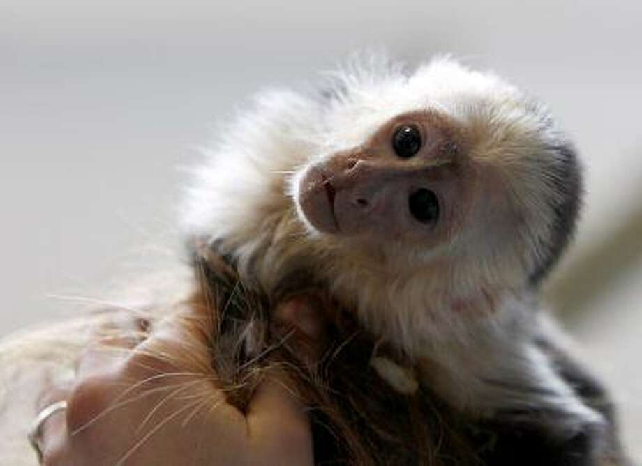 "File photo of Mally, the pet monkey of Canadian singer Justin Bieber, at a home for animals in Munich April 2, 2013. Teenage pop star Justin Bieber appears to have given up on his pet monkey which was seized by German customs officials in March, according to the shelter looking after ""Mally"". The 19-year-old singer has until Friday to hand in the necessary paperwork to retrieve his capuchin monkey, which was seized at Munich airport during a concert tour. ""Bieber's lawyers have indicated they would like to leave the monkey,"" said Judith Brettmeister, spokeswoman for the shelter caring for Mally May 13, 2013. REUTERS/Michaela Rehle/Files (GERMANY - Tags: ANIMALS SOCIETY ENTERTAINMENT) Photo: REUTERS / X01425"