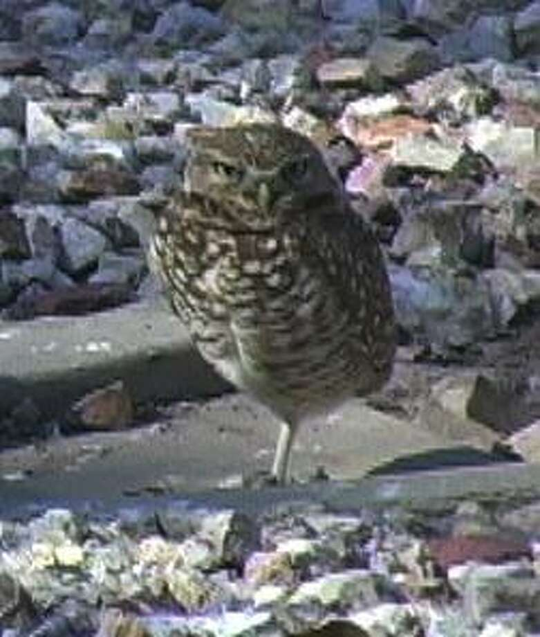 Contributed photo: Flo McBride talks about western birds at the New Haven Bird Club meeting this week. Burrowing owl pictured here.
