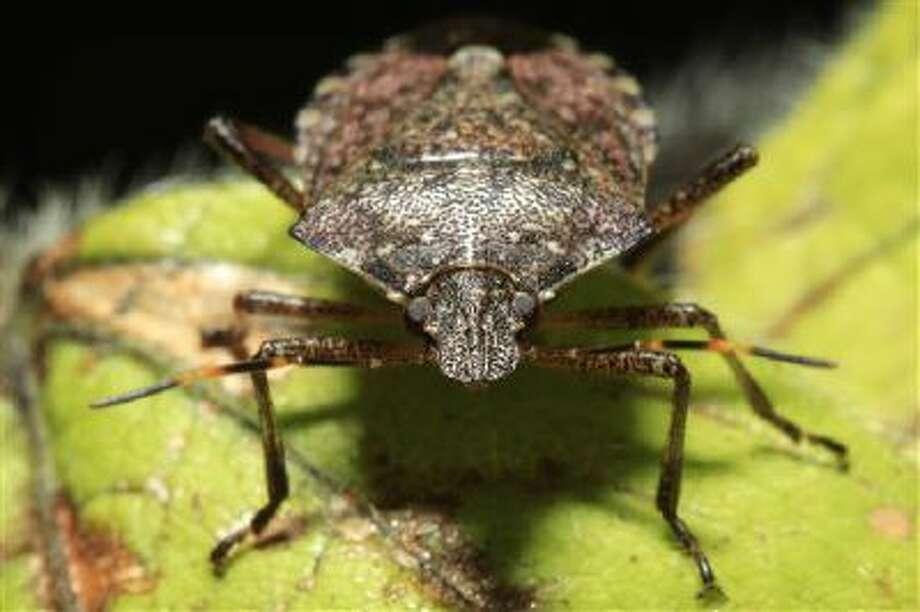 A stink bug. Photo: ASSOCIATED PRESS / AP2011