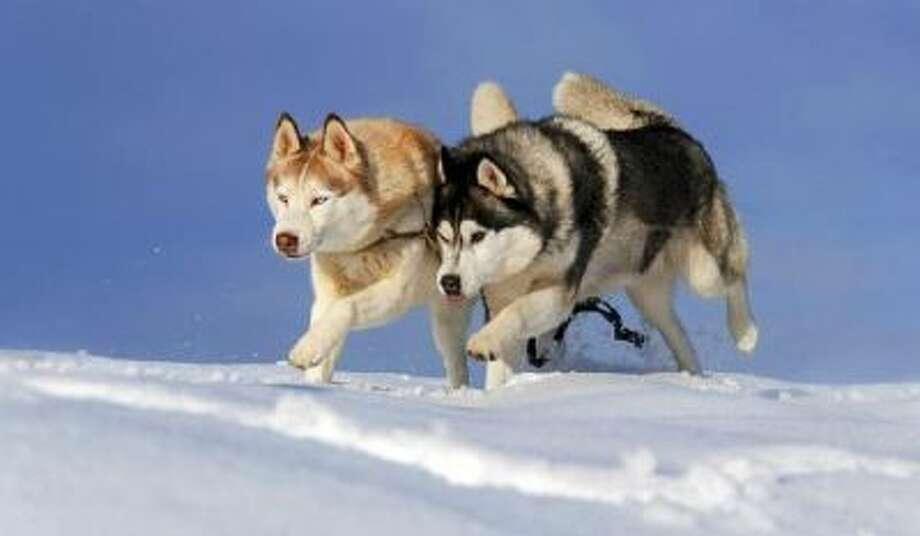 Two huskies run through the snow.