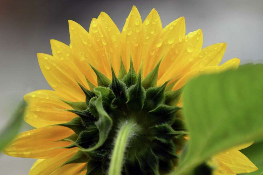 sunflowers stand in for the real sun newstimes