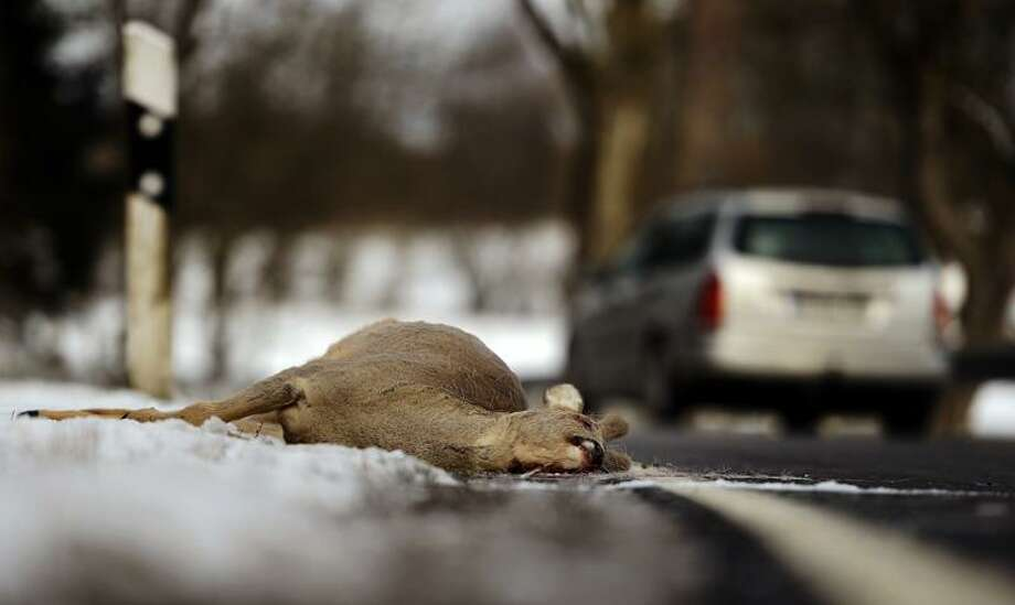 HERBSTEIN, GERMANY - FEBRUARY 11:  A dead deer lies on the side of a highway after being struck by a car on February 11, 2013 near Herbstein, Germany. Though no precise numbers are available, forestry officials estimate the number of deer and other wild animals, including boars and wolves, have risen significantly in Germany in the last decades.  (Photo by Thomas Lohnes/Getty Images) Photo: Getty Images / 2013 Getty Images