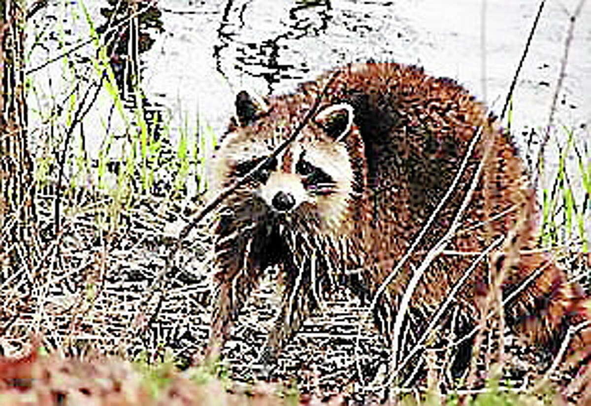 Not the actual raccoon who was scratching on door.