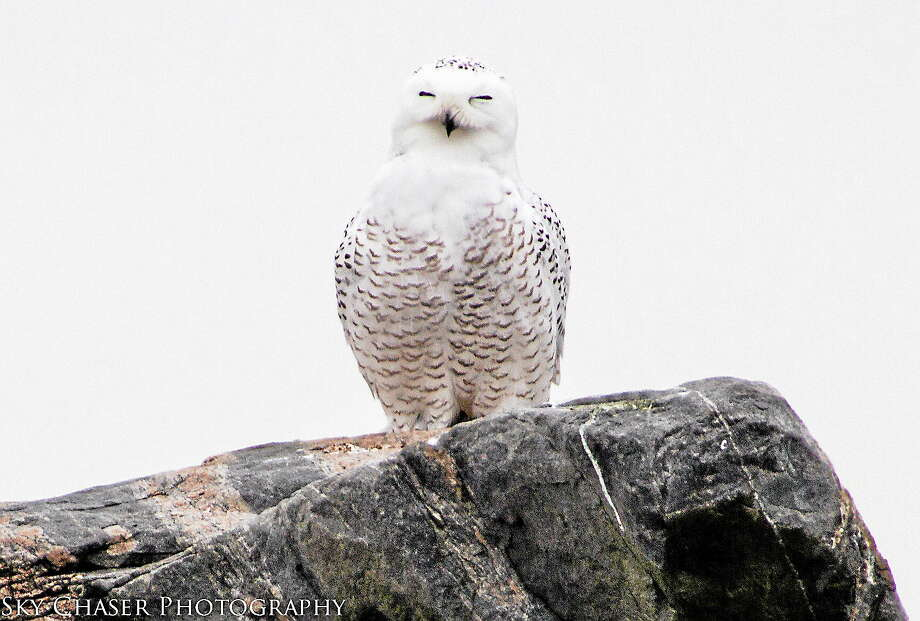 Bill Batsford, president of the New Haven Bird Club, sent this photo of a snowy owl at Hammonasset Beach State Park in Madison. Naturalists remind us to give these birds plenty of space as they struggle to survive in unfamiliar territory. Photo: Bill Batsford