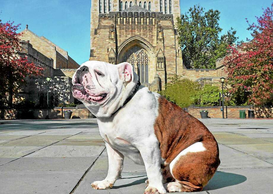 Handsome Dan for Yale Community Day Photo: Yale University  Handsome Dan XVII (aka Sherman) And His Friends Officially Kick Off Saturday's