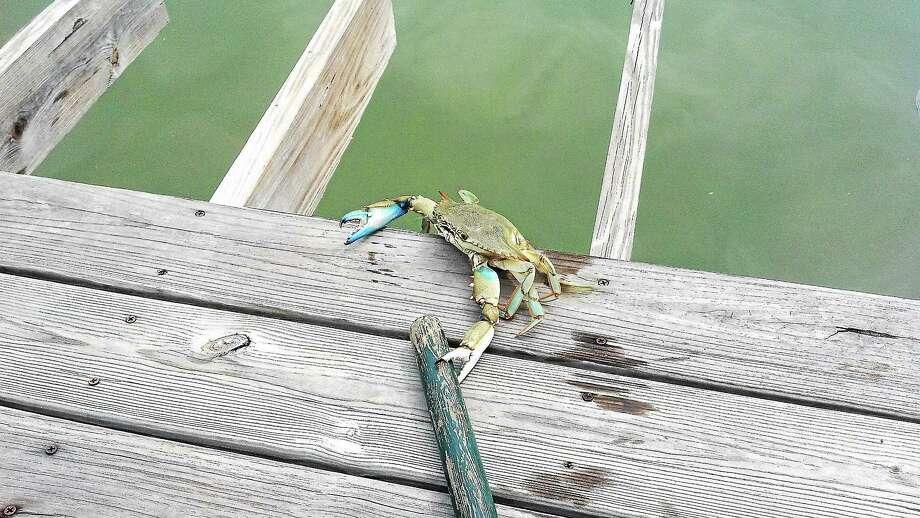 Blue crab caught and liberated at James Island, S.C. Photo: Rick Sandella — Register