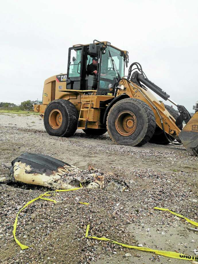 A driver for the Milford Department of Public Works prepares to load the leatherhead sea turtle onto a truck Thursday morning at a West Shore beach. Photo: Journal Register Co.