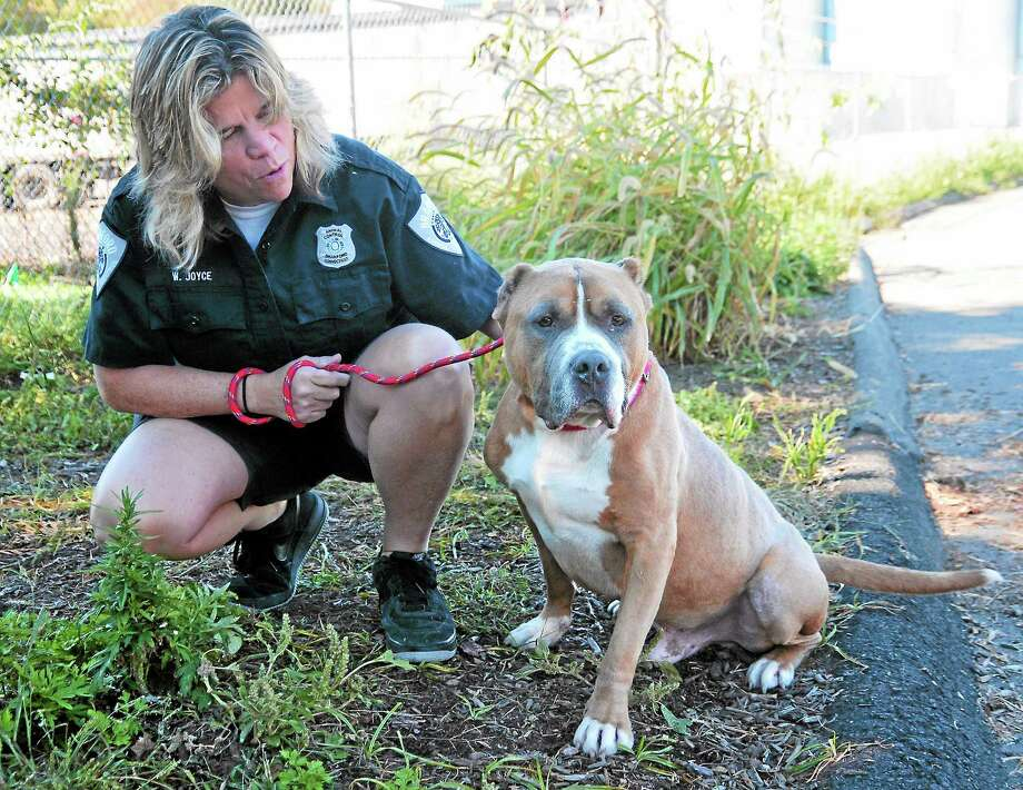 "(Peter Casolino — New Haven Register) Wendy Joyce, Branford Animal Control Officer, shows off ""Nino,"" a 5-year-old Pit Bull mix, the Register's pet of the month. 10/01/13 Photo: Journal Register Co."