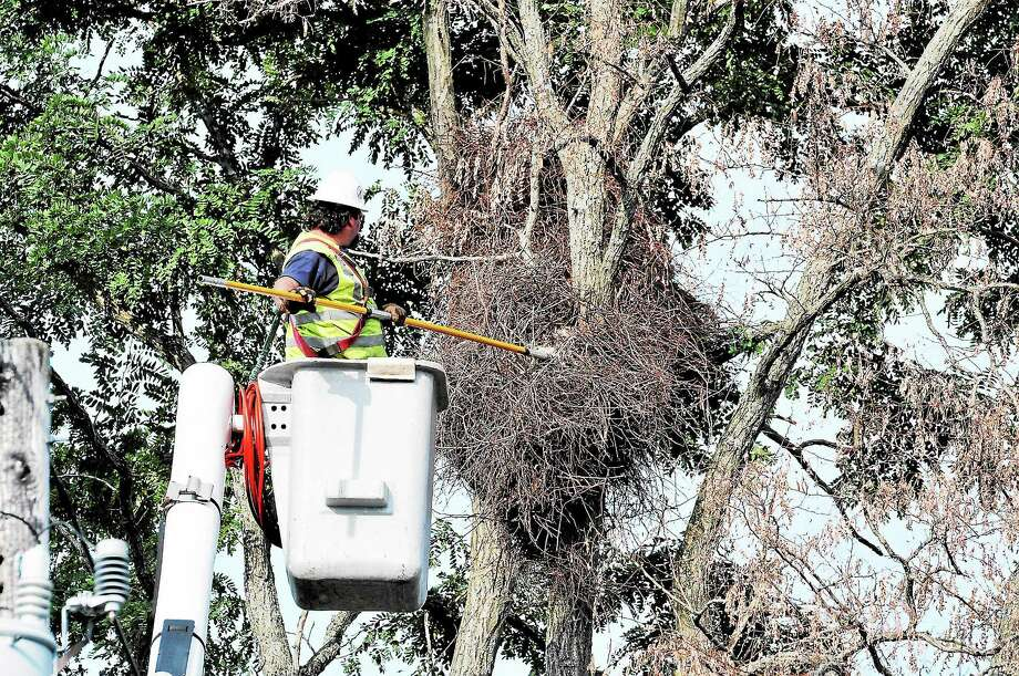 Peter Casolino — Register Anthony Simmons of Lewis Tree Service gently removes the Monk Parakeet nests from a tree on Sea Street. The birds had flown from the nests before they removed them. The company was taking a tree down that was nearly dead, so the nests had to be removed. pcasolino@newhavenregister.com Photo: Journal Register Co.