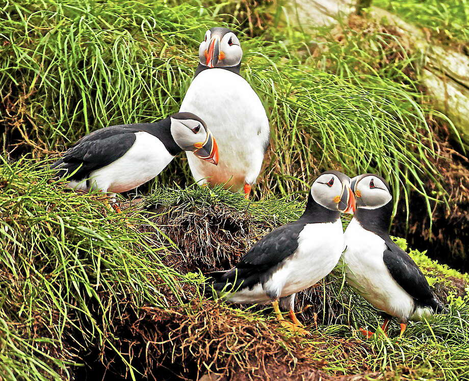 Sam FriedAtlantic puffin Photo: Journal Register Co. / SAM FRIED