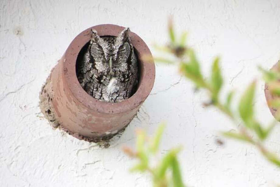 Photo Courtesy ANNE MAYVILLE An eastern screech owl sleeps in a drainage pipe.