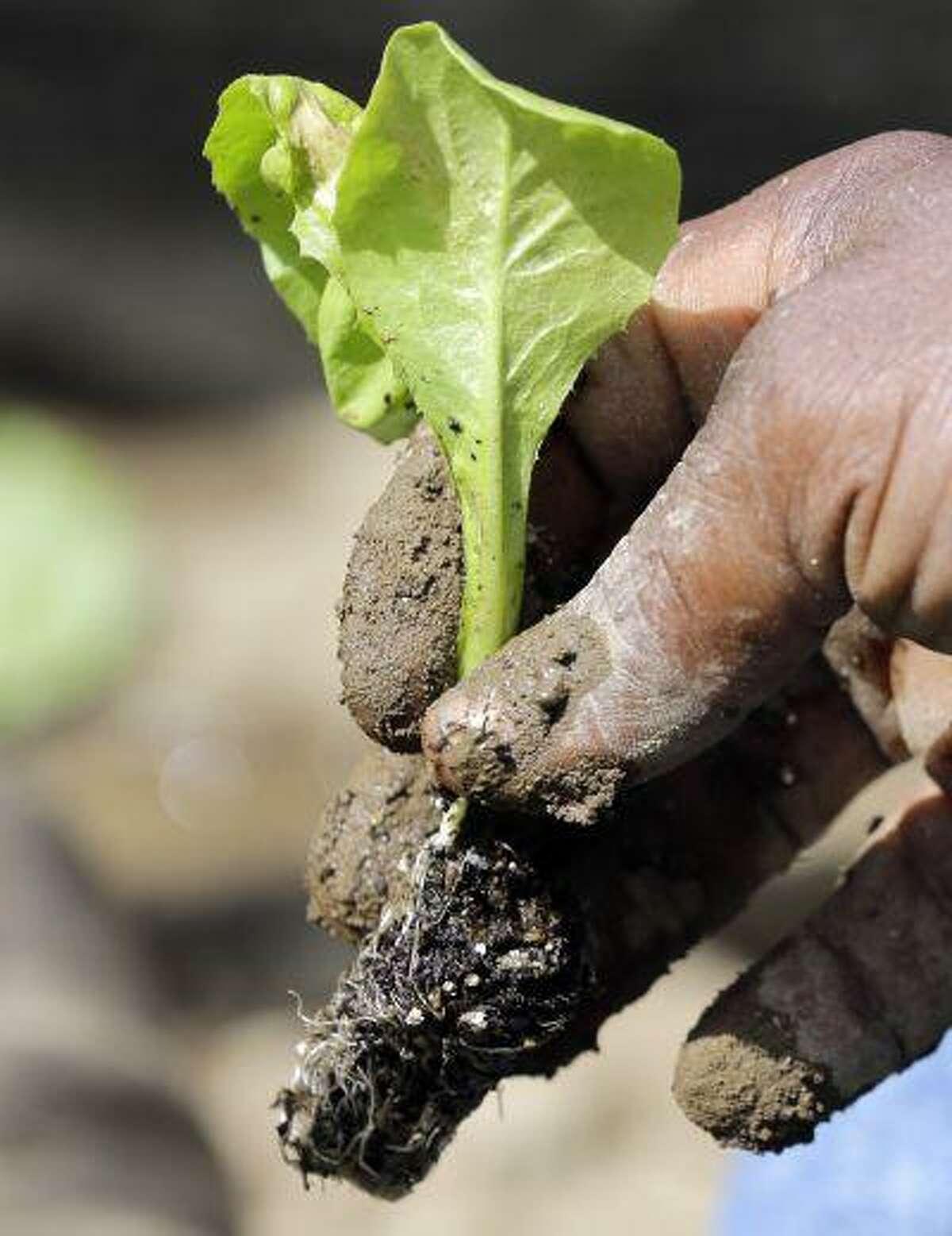 Walter Cameron transplants a lettuce plant in a field at Denison Farm on Monday, Aug. 12, 2013, in Schaghticoke, N.Y.