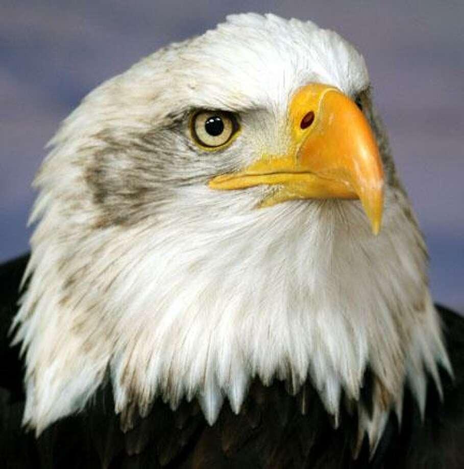 Wiki Media photo of bald eagle