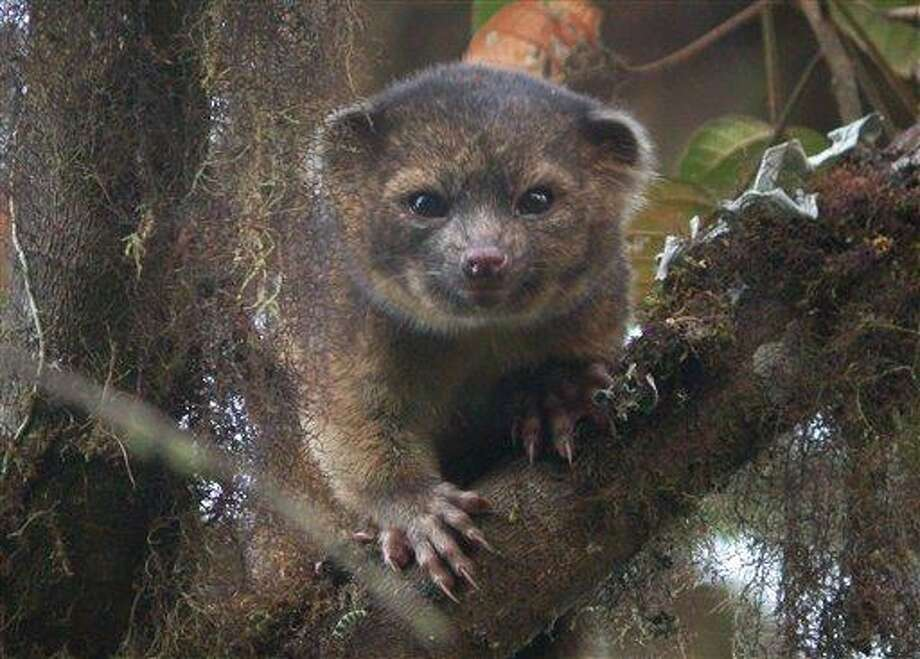 This undated handout photo provided by Mark Gurney shows a olinguito. Imagine a raccoon with a teddy bear face that is so cute it's hard to resist, let alone overlook. But somehow science did _ until now. Researchers Thursday announced a rare discovery of a new species of a mammal that belongs to the grouping of large creatures that include dogs, cats and bears: the olinguito. The raccoon-sized critters leap through the trees of the cloud forests of Ecuador and Colombia at night, according to a Smithsonian researcher who has spent the past decade tracking them. (AP Photo/Mark Gurney) Photo: AP / Mark Gurney