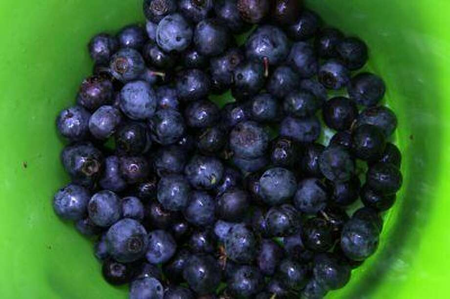 Ripe blueberries pile up inside a bucket in the pick-your-own field at Foxbrier Farm, in Chattahoochee Hill Country, Ga. Photo: AP / AP