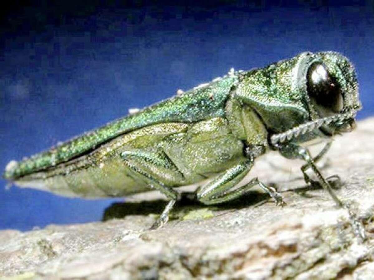 Emerald ash borer. AP Photo