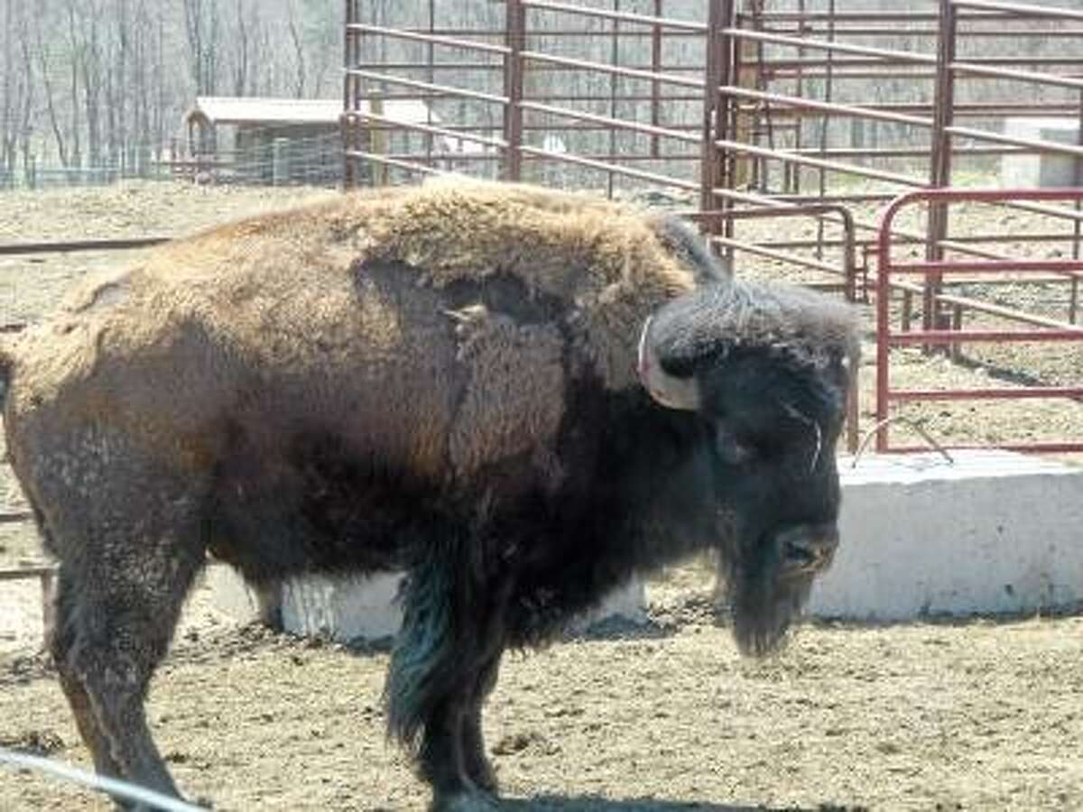 Ryan Flynn/Register Citizen -- The largest bison at Mohawk, who Fay said he weighed on Saturday, is 1600 pounds.