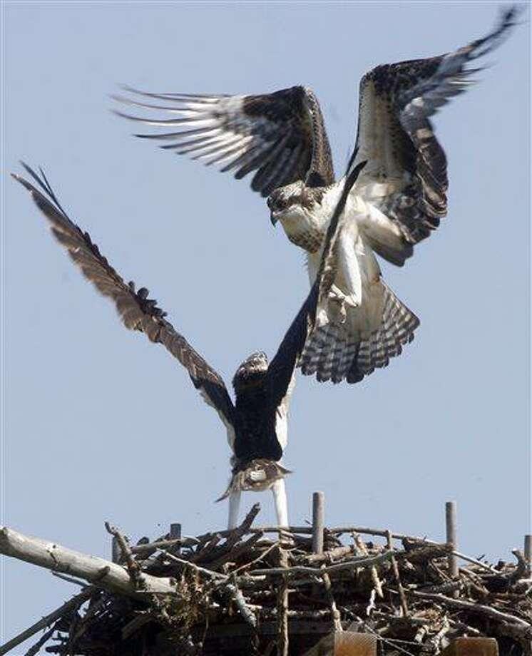AP file photo: Osprey on nest. Photo: AP / AP