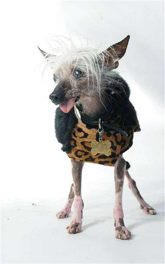 Rascal poses for a portrait while competing in the 25th annual World's Ugliest Dog Contest at the Sonoma-Marin Fair on Friday, June 21, 2013, in Petaluma, Calif. (AP Photo/Noah Berger) Photo: AP / FR34727 AP