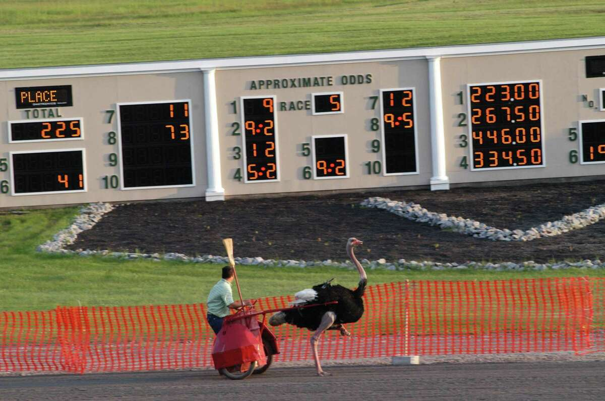 JESSI PIERCE - ONEIDA DISPATCH Fans cheered and laughed as the ostriches made their way down the short distance of the track.