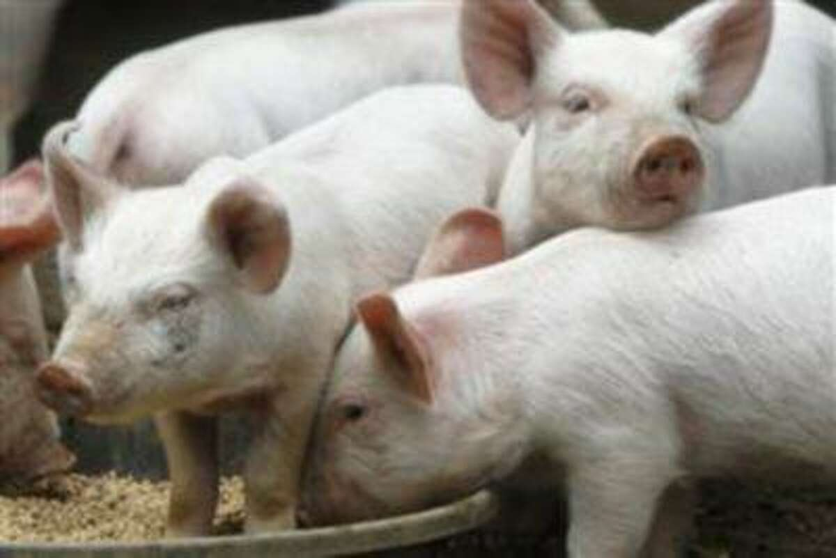 Piglets eat from a trough at the 1782 Settlement Farm in this file photo on Monday, June 10, 2013, in Middlesex, Vt. (NBCNews)