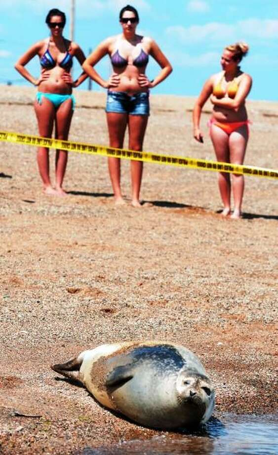 Mara Lavitt/New Haven Register  June 19, 2013: A male, juvenile harbor seal joined other sunworshipers on West Haven Beach today, attracting a small crowd of admirers.