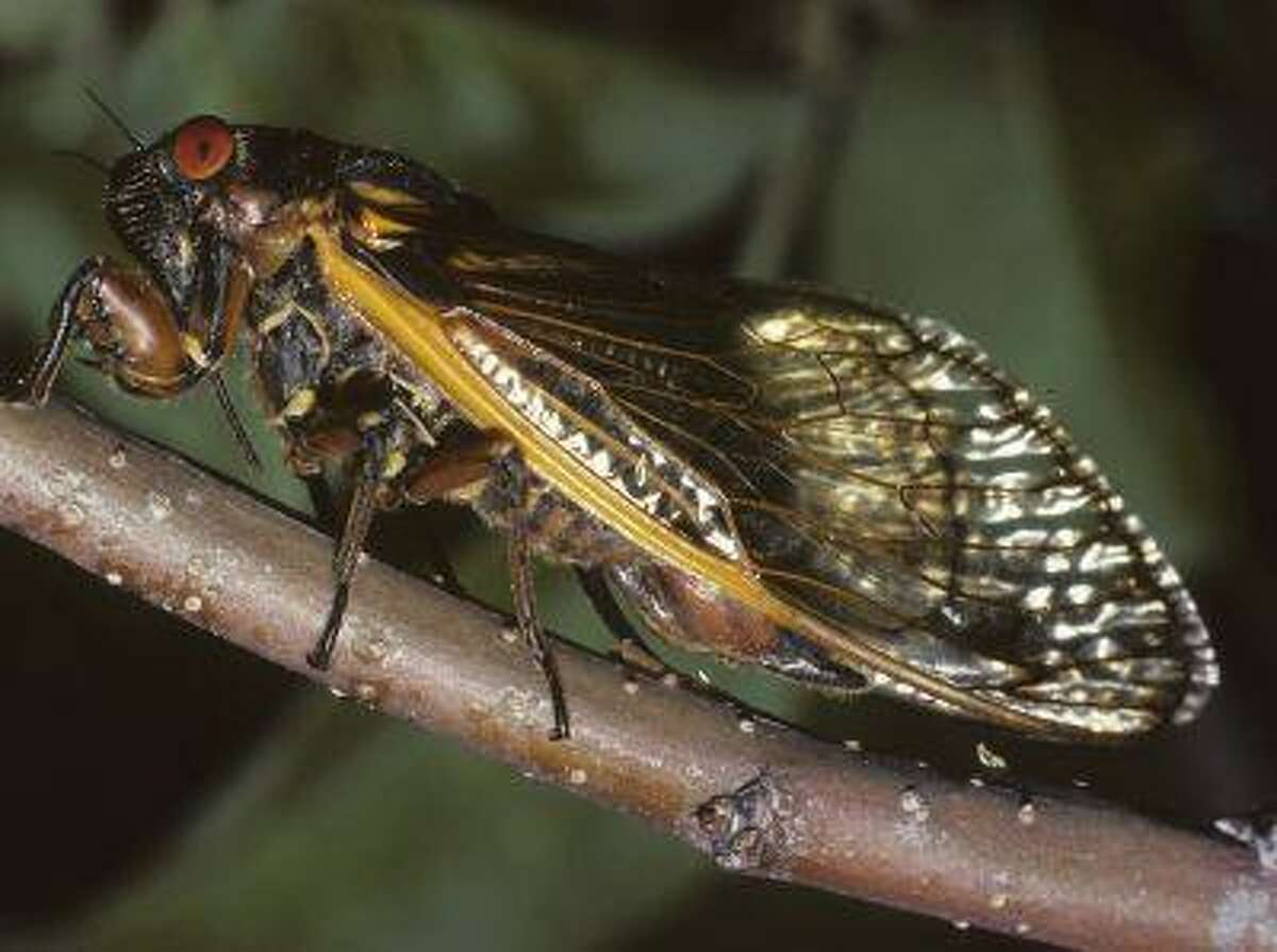An adult cicada ovipositing into an apple twig is shown in this undated handout photo by Connecticut Agricultural Experiment Station released to Reuters on May 2, 2013. This year heralds the springtime emergence of billions of so-called 17-year periodical cicadas, with their distinctive black bodies, buggy red eyes, and orange-veined wings, along a roughly 900-mile stretch from northern Georgia to upstate New York. REUTERS/Chris T. Maier/Connecticut Agricultural Experiment Station/Handout (UNITED STATES - Tags: ENVIRONMENT SCIENCE TECHNOLOGY) ATTENTION EDITORS - THIS IMAGE WAS PROVIDED BY A THIRD PARTY. FOR EDITORIAL USE ONLY. NOT FOR SALE FOR MARKETING OR ADVERTISING CAMPAIGNS. THIS PICTURE IS DISTRIBUTED EXACTLY AS RECEIVED BY REUTERS, AS A SERVICE TO CLIENTS. NO SALES. NO ARCHIVES